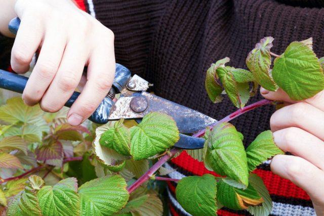 Отплодоносившие макушки однолетних побегов ремонтантной малины осенью нужно будет срезать