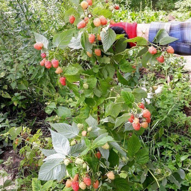 Ремонтантной называются гибридные сорта малины, способные дать урожай на однолетних побегах