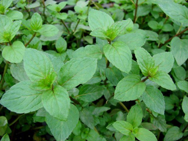 Мята перечная (Mentha × piperita)