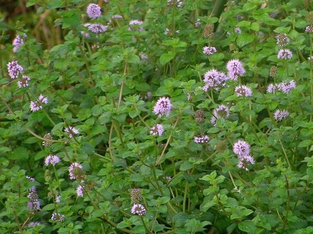 Мята болотная (Mentha pulegium)