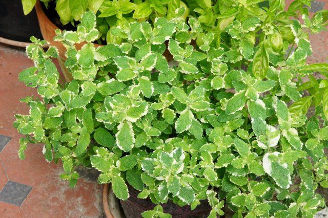 Мята ананасная 'Variegata' (Mentha rotund if о На variegata)