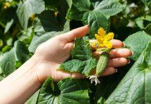 Основные проблемы при выращивании огурцов и методы их решения
