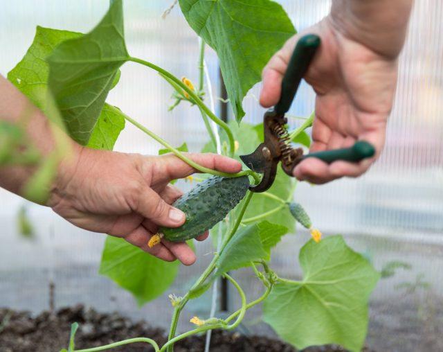 Регулярный своевременный сбор зеленцов стимулирует плодоношение