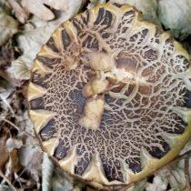 Грабовик, или Подберёзовик серый (Leccinum griseum)
