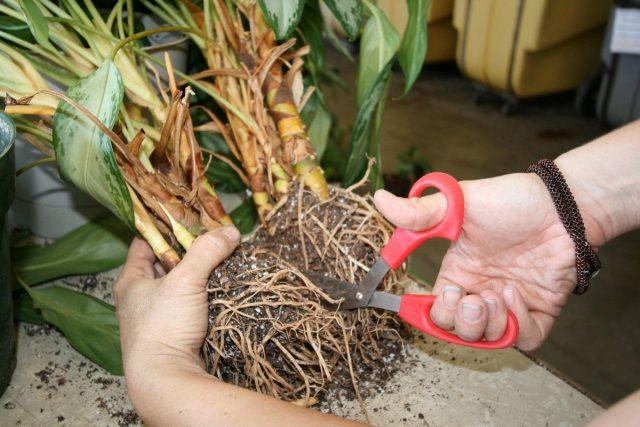Как и при обрезке, при разделении стоит использовать только чистые, продезинфицированные инструменты и специальное место