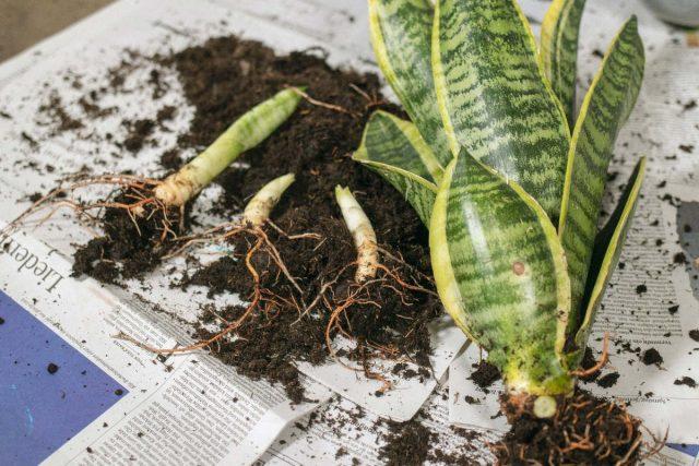 Разделение как метод размножения используют как для получения потомства, так и для омоложения взрослых растений с наименьшими усилиями и травмами