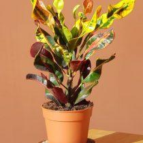 Кодиеум пестрый (Codiaeum variegatum), сорт 'Mammie' ('Mammy')