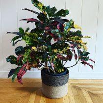 Кодиеум пестрый (Codiaeum variegatum), сорт 'Magnificent'