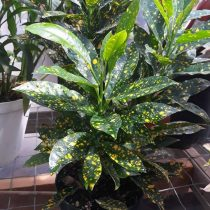 Кодиеум пестрый (Codiaeum variegatum), сорт 'Gold Dust'