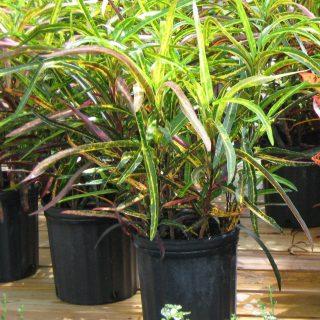 Кодиеум пестрый (Codiaeum variegatum), сорт 'Zanzibar'