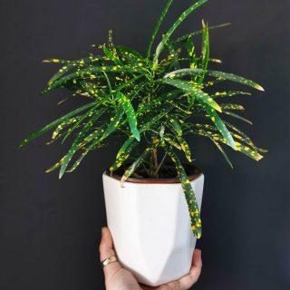 Кодиеум пестрый (Codiaeum variegatum), сорт 'Eleanor Roosevelt'