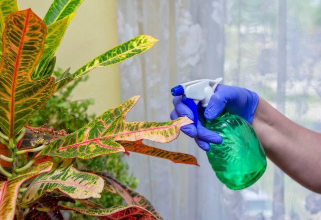 Эффектность листьев кротонов напрямую зависят от того, будет ли поддерживаться комфортная влажность воздуха