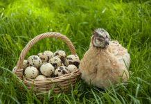 Содержание перепелов — диетические яйца и мясо при минимальном уходе