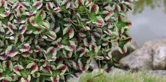 Удивительный пестролистный клевер в саду — сорта и особенности выращивания