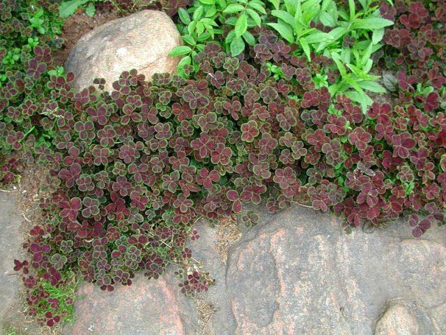 Клевер ползучий Purpurascens Quadrifolium