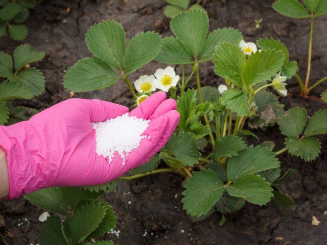 Ремонтантные сорта земляники садовой (Fragaria × ananassa) нуждаются в усиленном питании