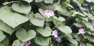 Вьющиеся растения – ваш помощник в декорировании