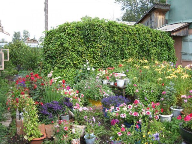Поток зелени, украшающий цветник