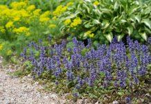 Живучка в дизайне сада — современные сорта и лучшие растения-партнёры