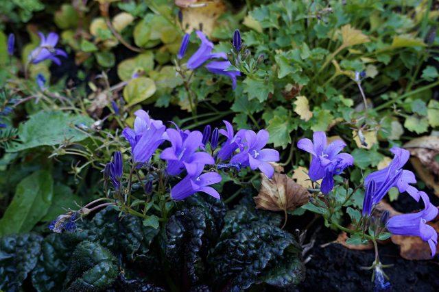 При посадке с колокольчиком может показаться, что это живучка зацвела колокольчатыми цветками