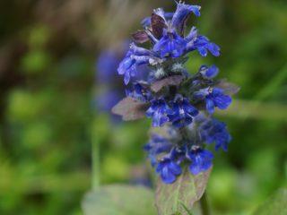 Цветение живучки «Атропурпуреа»