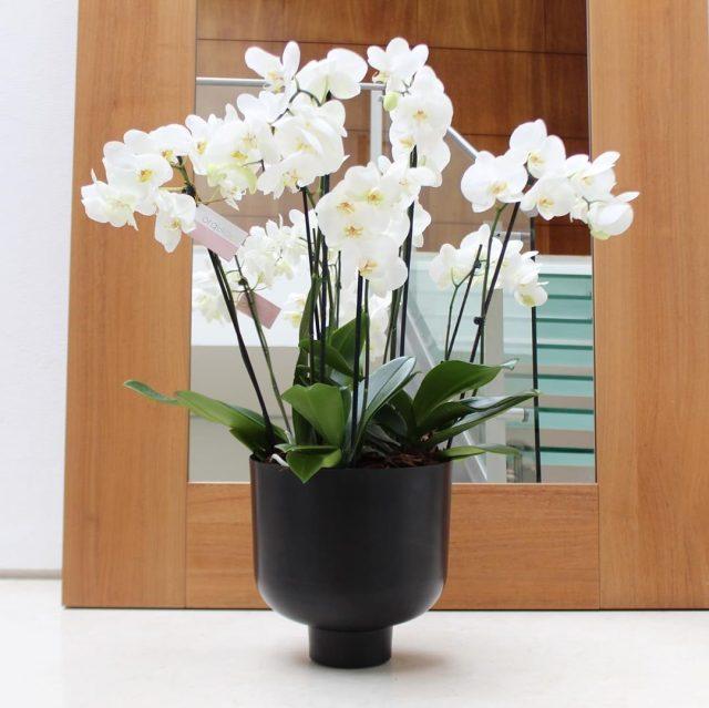 Фаленопсис (Phalaenopsis)