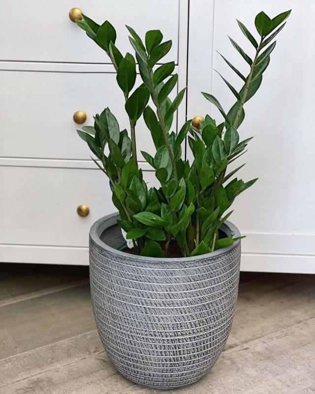 Замиокулькас замиелистный, или долларовое дерево (Zamioculcas zamiifolia)