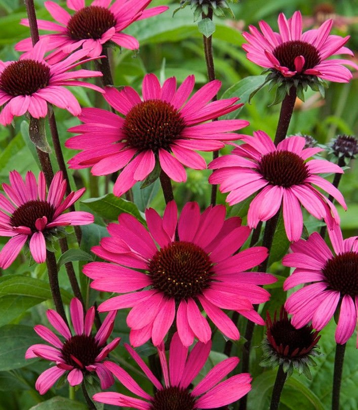 Echinacea-purpurea-Ruby-Giant-1