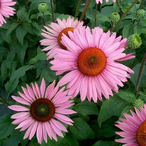 Echinacea-purpurea-Ruby-Giant-2