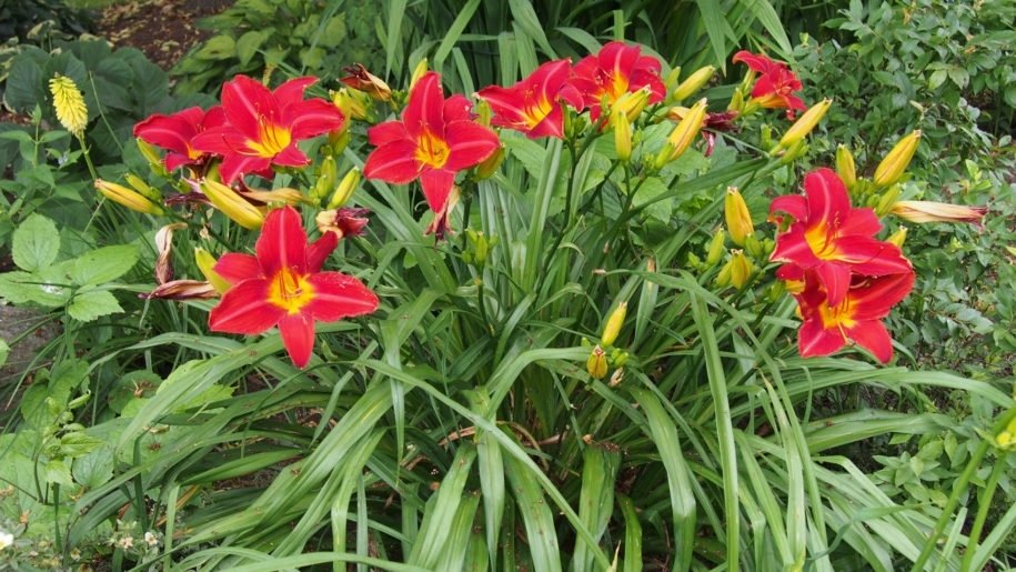 Hemerocallis-Red-Volunteer-4