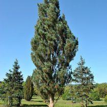 Сосна обыкновенная (Pinus sylvestris) 'Fastigiata' – колоновидная форма для небольшого участка © Питомник Ван ден Берк