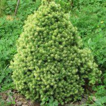 Ель сизая, канадская (Picea glauca) 'J.W. Daisy's'
