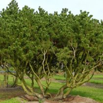 Сосна горная(Pinus mugo) © Ван ден Берк