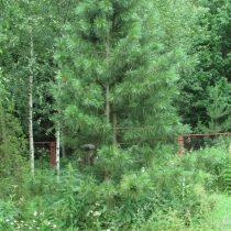 Сосна сибирская кедровая, или сибирский кедр (Pinus sibirica). Растению 25 лет, взято из дикой природы. Высота чуть больше 4 метров. Кедр растет довольно медленно
