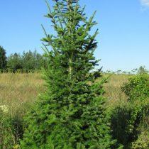 Пихта (Abies sibirica). Дерево в возрасте 10 лет, полное солнце, никакого ухода. Высота около 4 метров, ширина кроны у земли 1.3 метра.