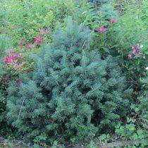 Пихта субальпийская(Abies lasiocarpa)'Green Globe'