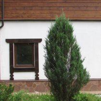 Можжевельник скальный(Juniperus scopulorum) 'Blue arrow'