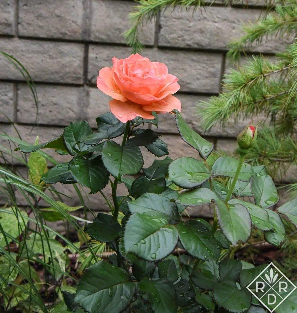 Rosa-Annas-Promise-2