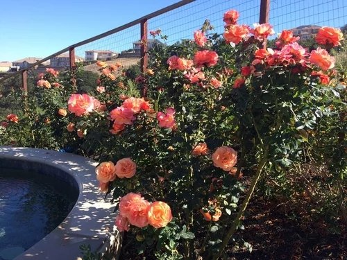 Rosa-Annas-Promise-3