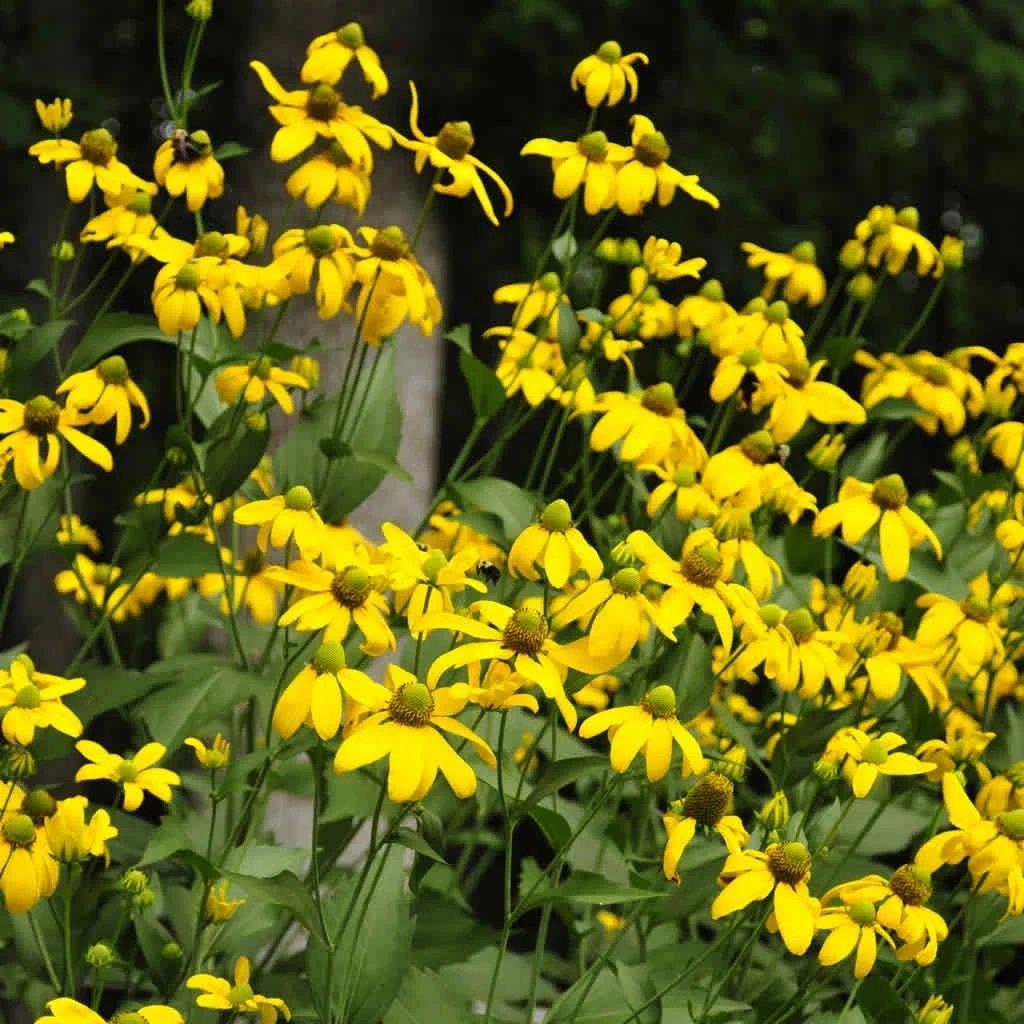 Rudbeckia-laciniata-Herbstsonne-1