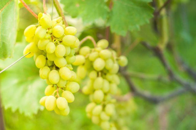 Налитый солнцем белый виноград
