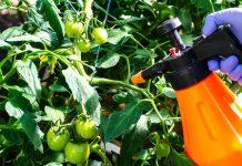 Чем опрыскать томаты от фитофторы?