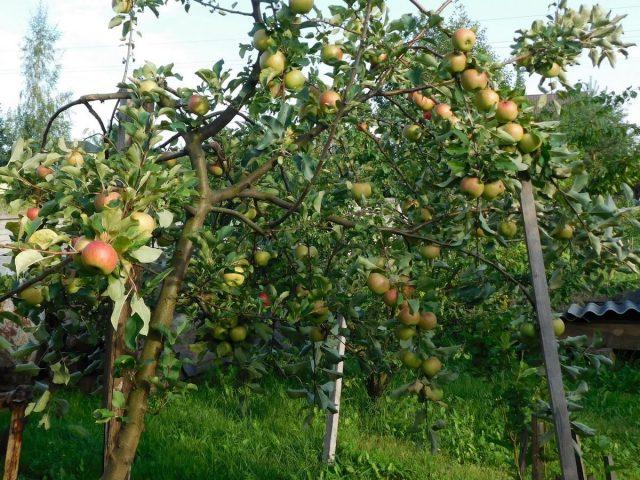 Если деревья усыпаны плодами, надо поставить подпорки под гнущиеся ветки, чтобы они не поломались