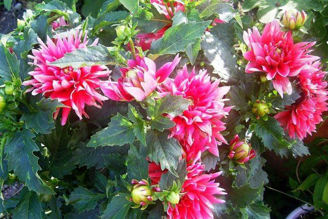 Георгины уже цветут