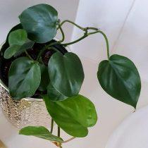 Филодендрон плющелистный (Philodendron hederaceum)