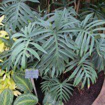 Филодендрон узкорассеченный (Philodendron angustisectum)