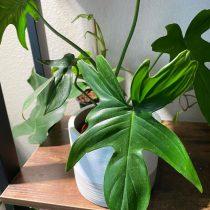 Филодендрон стоповидный (Philodendron pedatum)