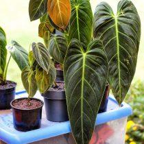 Филодендрон черно-золотистый (Philodendron melanochrysum)