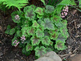 Гейхерелла (Heucherella), сорт «Розали» (Rosalie)