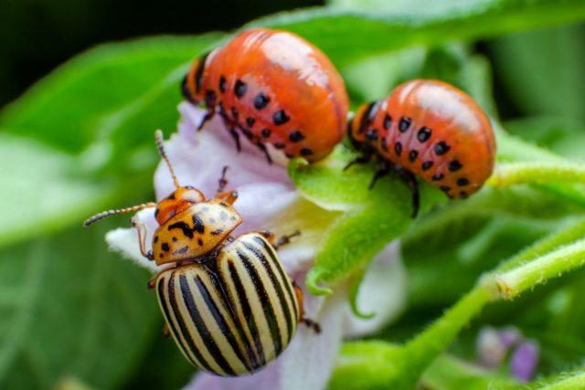 Как бороться с колорадскими жуками без пестицидов?